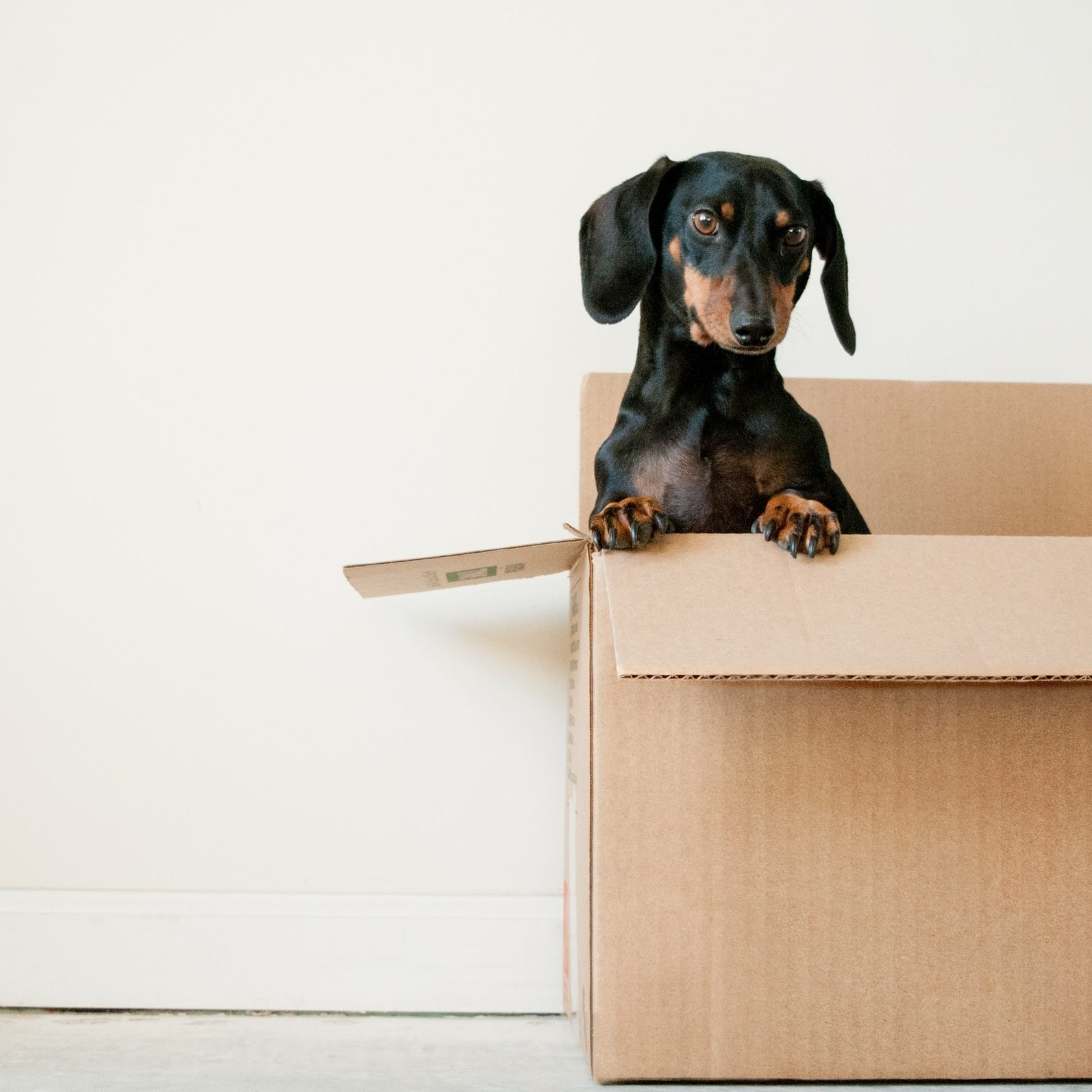 Puppy popping out of box